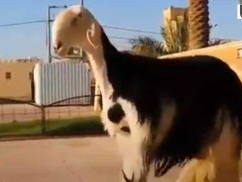keçi, goat